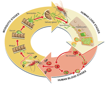 Ian-Moores-Graphics-Medical-Graphics-Malaria-Lifecycle